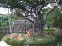 白と黒の縞模様の長い毛で覆われた尻尾の長い猿で声を出しながら群れていました。